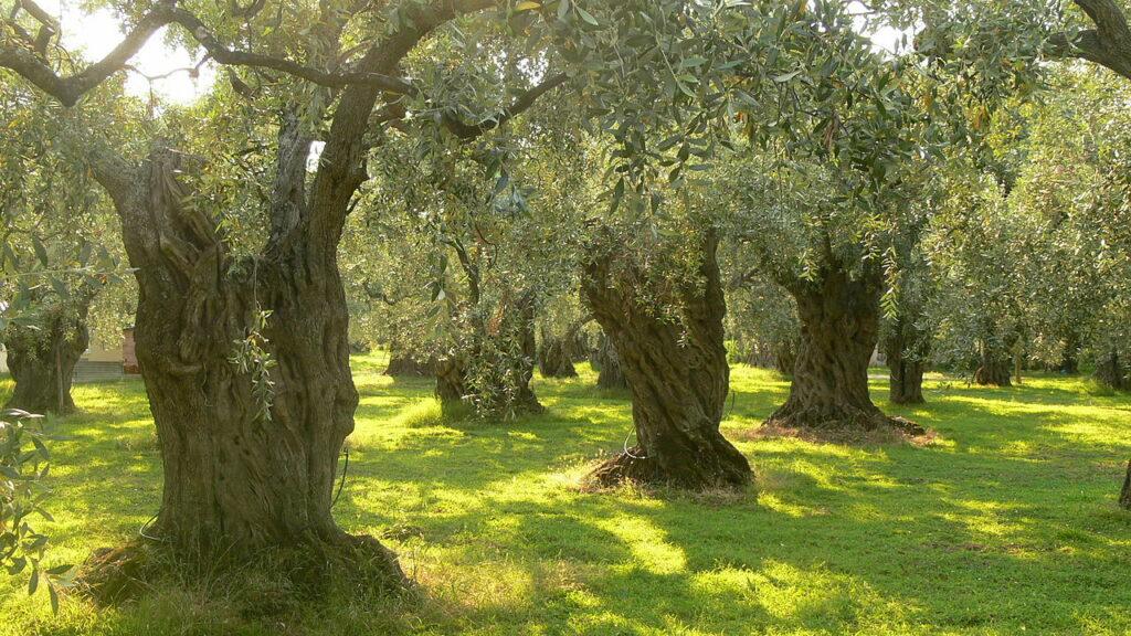 AgroPublic | 1280px Olive trees on Thassos 1