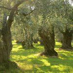 AgroPublic | 1280px Olive trees on Thassos