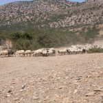 AgroPublic   Sheep and goats at Kalandos Naxos Greece DSCN1143