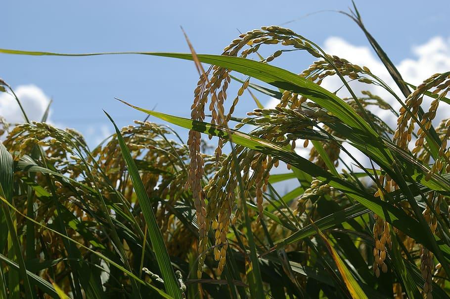 AgroPublic | ch rice farming plants