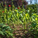 AgroPublic   corn 4262081 960 720