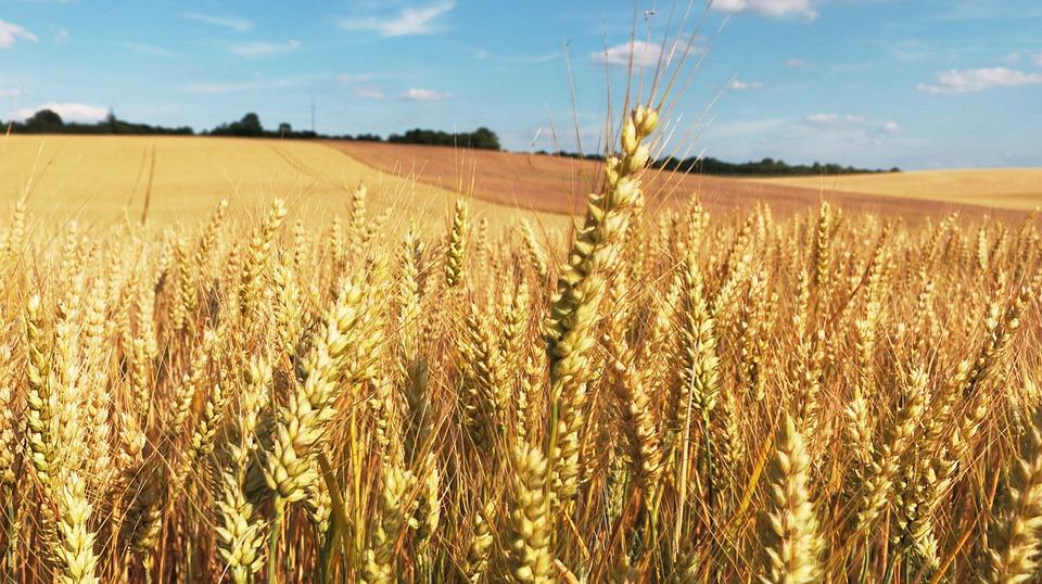 AgroPublic | cornfield 373284 960 720