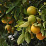 AgroPublic | oranges 4566275 960 720