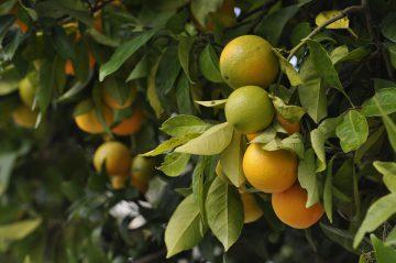 AgroPublic | oranges 4566275 960 720 e1587653458387