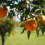 AgroPublic | oranges fruits orange tree citrus fruits preview 1