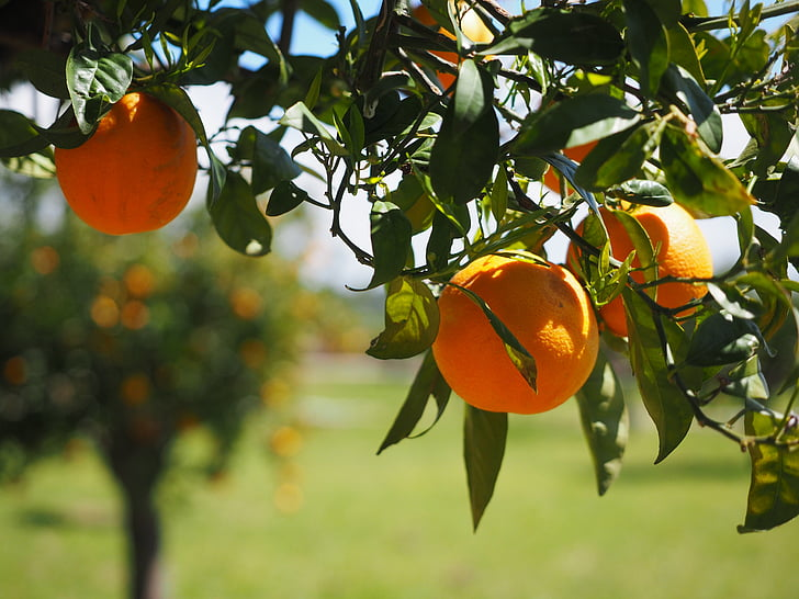 oranges fruits orange tree citrus fruits preview 1