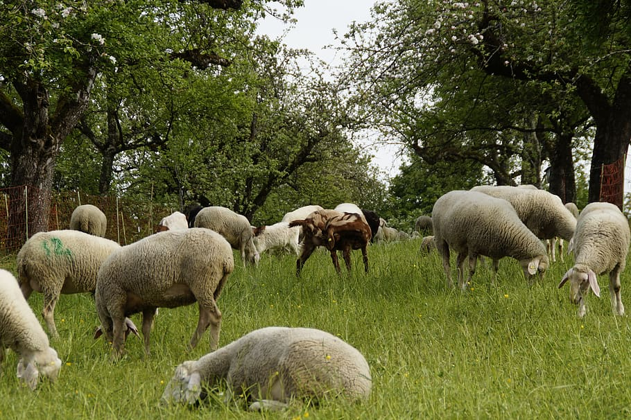 AgroPublic | sheep sheep pasture orchards graze reject swabian alb