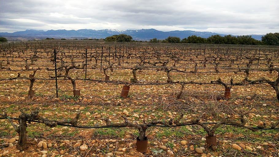 AgroPublic | grape black red vineyard