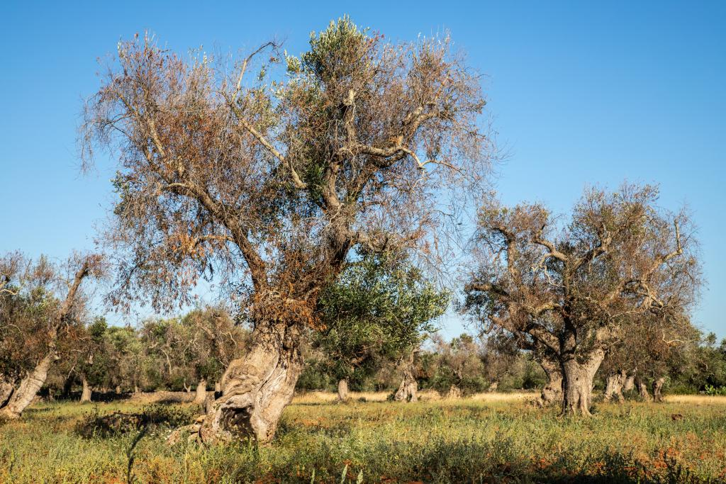AgroPublic   infested olive trees bacterium xylella fastidiosa in salento c adobestock cesare palma 250536421 1