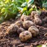 AgroPublic | patates