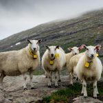 sheepwithaview fjord norway 2 1 3504edc9 e212 4c01 a94b a8445366527d 1