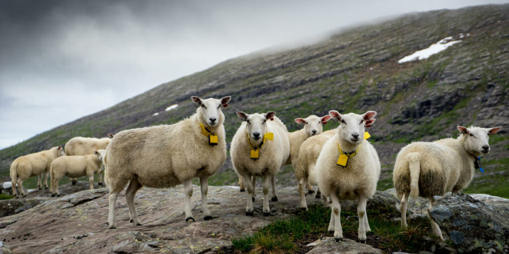 AgroPublic | sheepwithaview fjord norway 2 1 3504edc9 e212 4c01 a94b a8445366527d