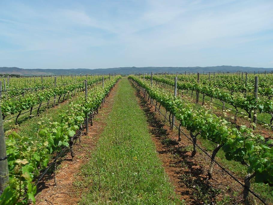AgroPublic | vineyard wine alentejo agriculture