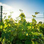 vineyard wine napa california