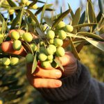 AgroPublic | Koroneiki olives