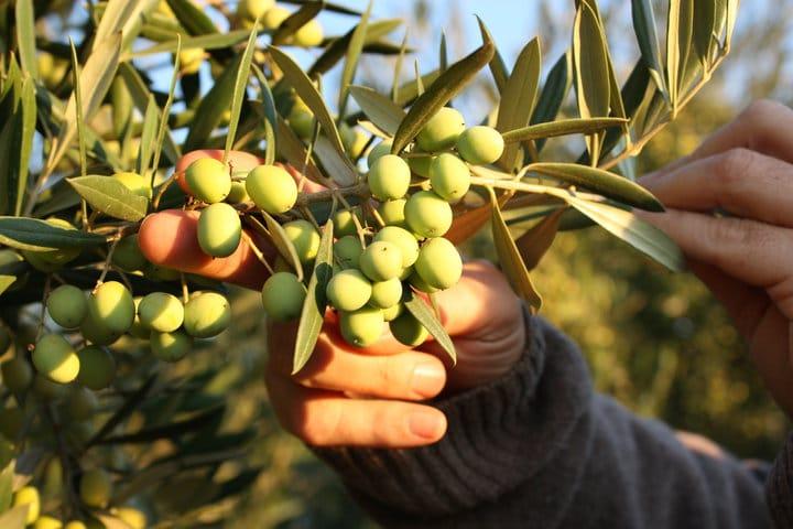 Koroneiki olives