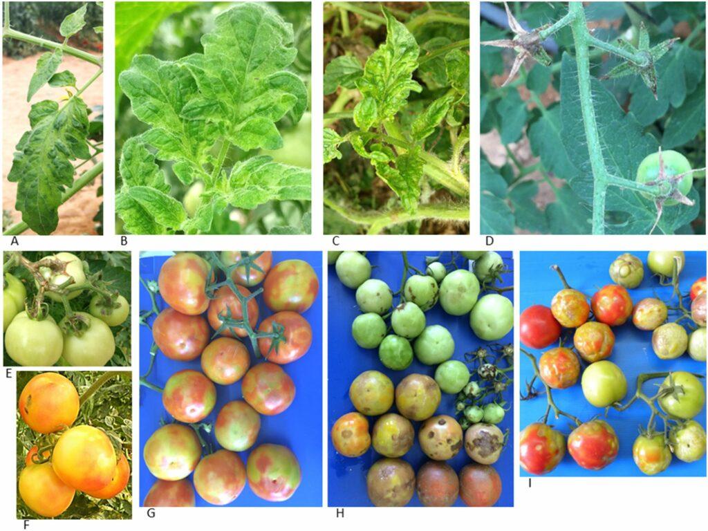 ToBRFV Tomato Symptoms01