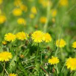 depositphotos 1858136 stock photo dandelion at spring