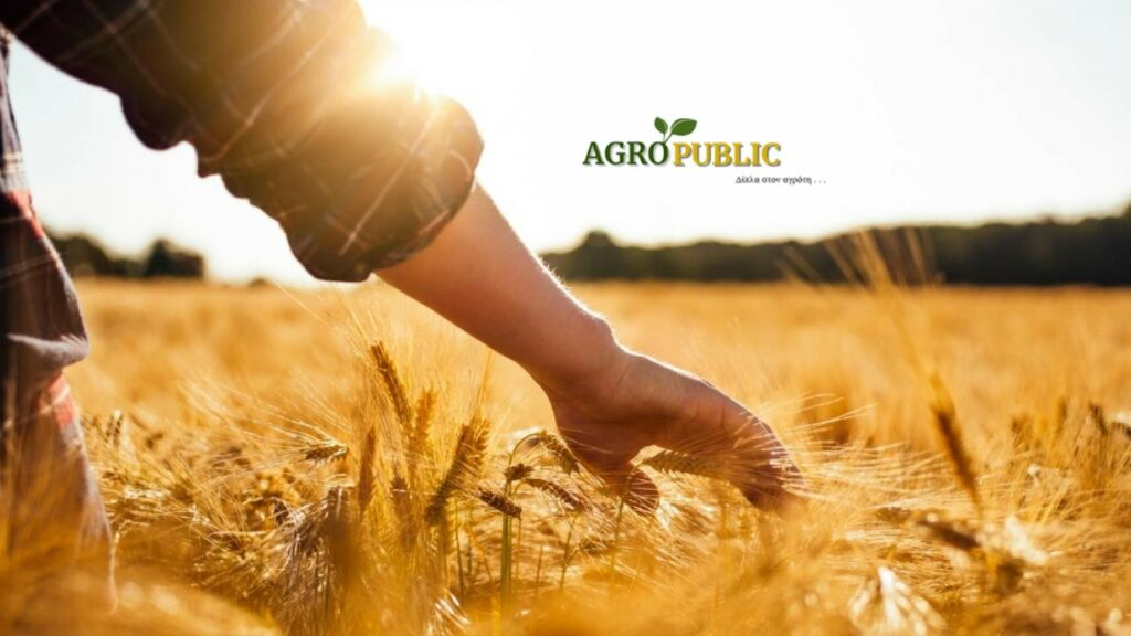 farmer in wheat field 1