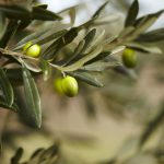 olives grece 500x346 1