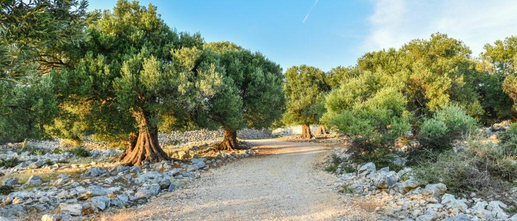 olivevard