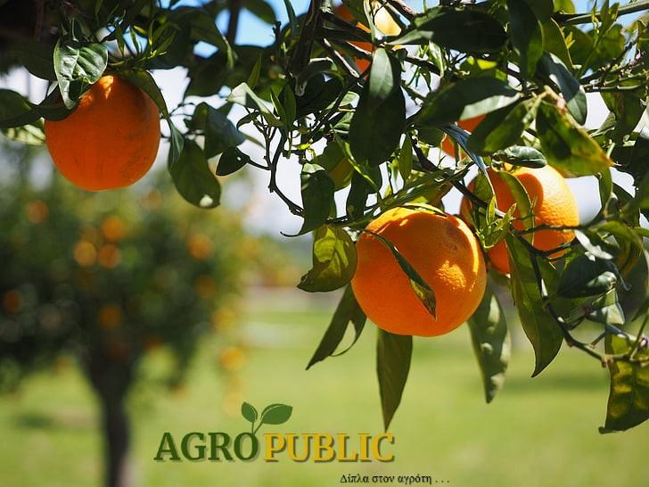 AgroPublic | oranges fruits orange tree citrus fruits preview