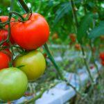 tomatoes ntomates syntirisi 2