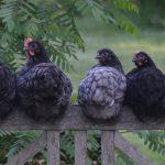 μαύρες κότες