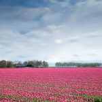 AgroPublic | flower tulip field pink