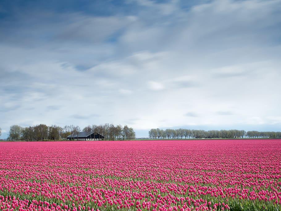 flower tulip field pink