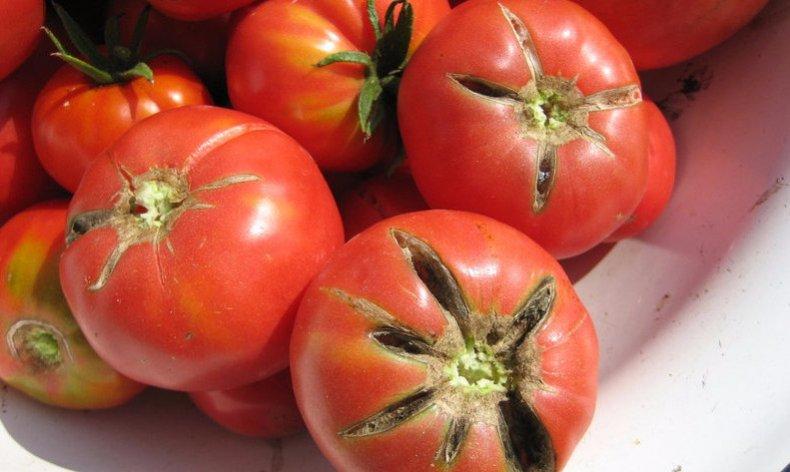 AgroPublic | pochemutreskayutsyapomidorinadache C230FB1A