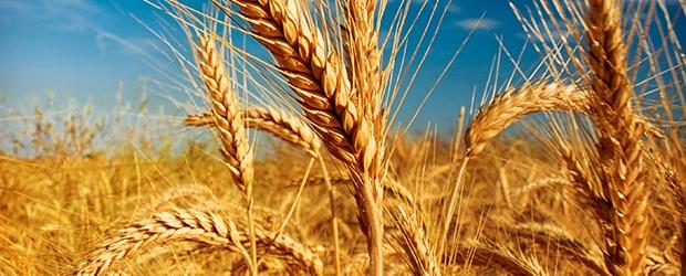 AgroPublic | wheat