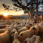 AgroPublic | 1599037004 0 sheep farm