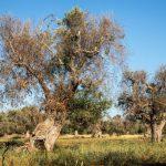 AgroPublic | infested olive trees bacterium xylella fastidiosa in salento c adobestock cesare palma 250536421