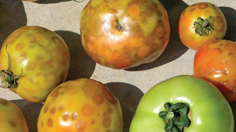 ritidosi tomatas