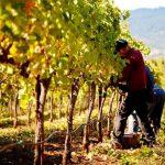 AgroPublic | rodney strong vineyards 02 970 528 60 s c1