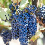 AgroPublic | ampeli pixabay intro