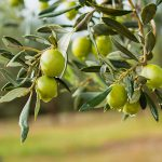 AgroPublic | fresh olives