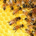 AgroPublic   honey bees 326337 1280