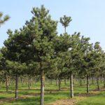 pinus nigra high stem 2 1