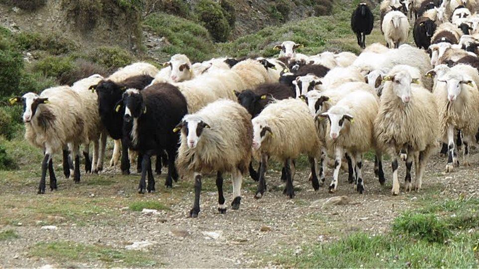Κτηνοτροφία: 80.000 δόσεις εμβόλια για τον καταρροϊκό πυρετό σε Θεσσαλία