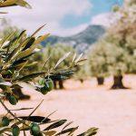 AgroPublic | 1604478444 0 olivetrees 26