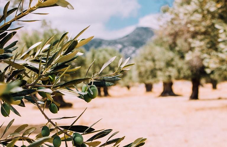 1604478444 0 olivetrees 26