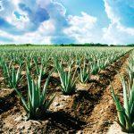 AgroPublic | aloe vera contract farming 1532000992 4118376