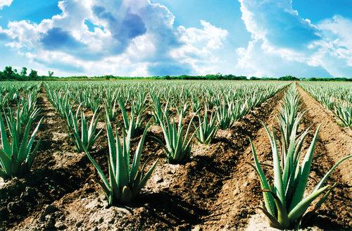 aloe vera contract farming 1532000992 4118376