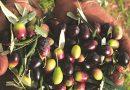 Έως 9/12 οι αιτήσεις για ελιά Καλαμών, καρπούζι, ανοιξιάτικη πατάτα και θερμοκηπιακά Κρήτης
