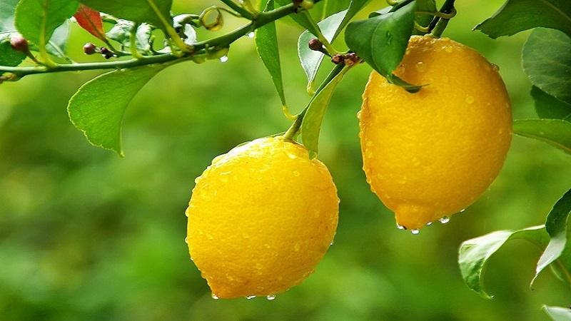 AgroPublic   lemonia