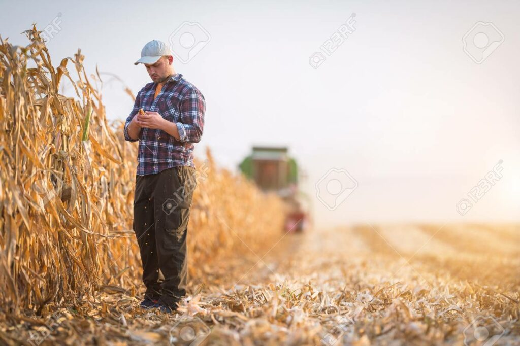85974234 young farmer examine corn seed in corn fields during harvest