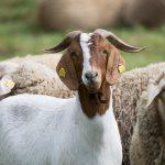 AgroPublic   goat 2420164 960 720