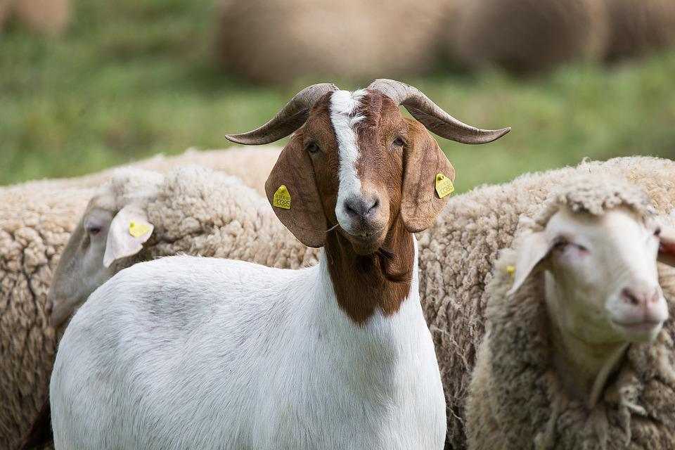goat 2420164 960 720